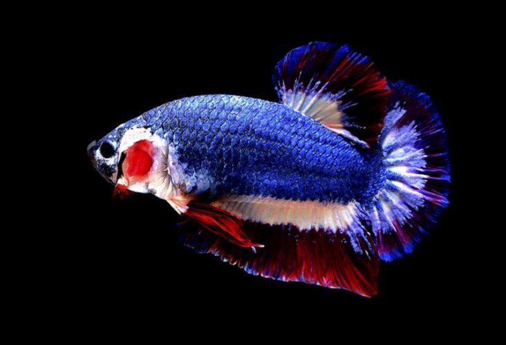 Jangan Digoreng! Harga Ikan Cupang Ini Paling Mahal Di Dunia